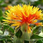 aspir-bitkisi