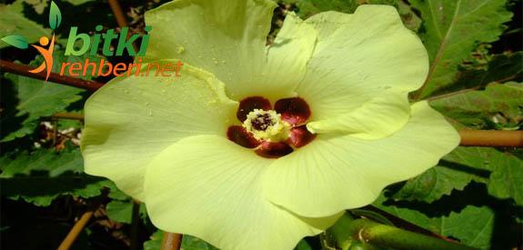 bamya çiçeği
