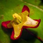 Keşiş Külahı şifalı bitkiler